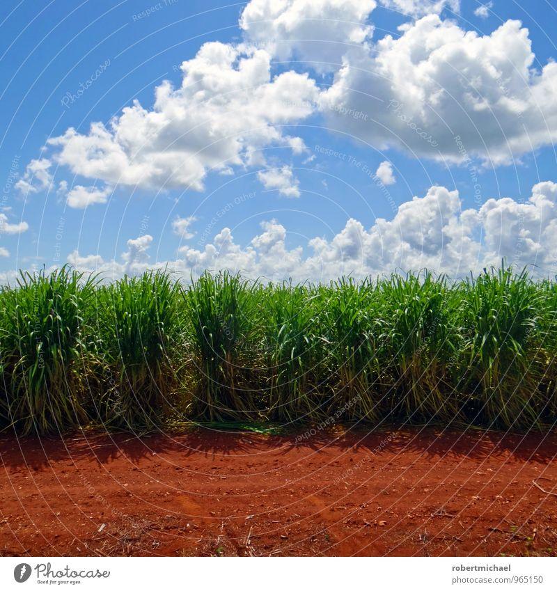 saccharum officinarum Nutrition Organic produce Vegetarian diet Growth Sugar Sugarcane Sugar cane field Sugarcane plantation Field Working in the fields