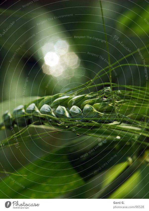 Green White Plant Grass Rain Glittering Wet Fresh Drops of water Living thing Agriculture Grain Harvest Agriculture Blade of grass Silver