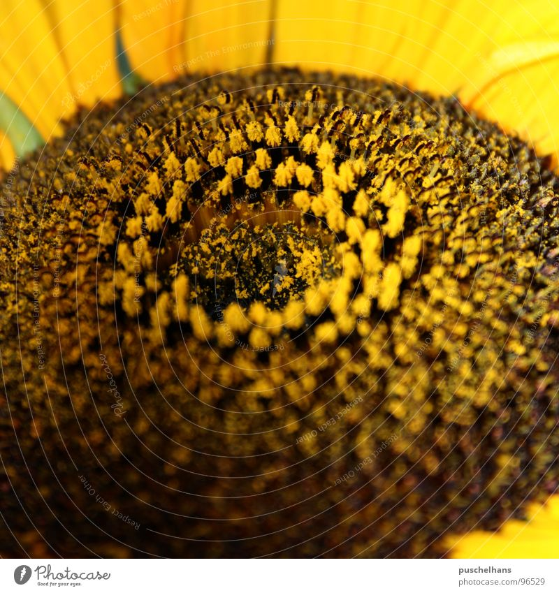 Nature Plant Flower Joy Yellow Meadow Happy Blossom Garden Brown Near Joie de vivre (Vitality) Sunflower Pollen Stamen Celestial bodies and the universe