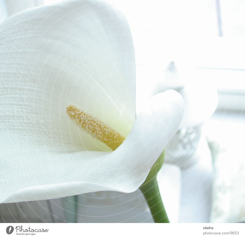 Still Flower Calm Plant Blossom Innocent Style Calla Neutral color Serene White Illuminating Pistil Detail Pure Beautiful pearly Bright Clarity Wedding