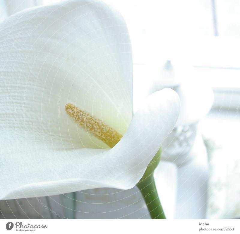 White Beautiful Plant Flower Calm Blossom Style Bright Clarity Pure Serene Innocent Pistil Calla Illuminating Neutral color