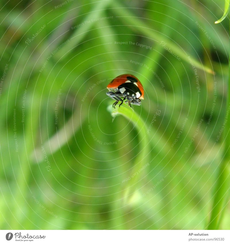 Ladybird *2 Happy Success Nature Animal Grass Beetle Crawl Walking Small Speed Green Red Black Insect Diminutive Feeler Blade of grass Grass green Pests Shorts