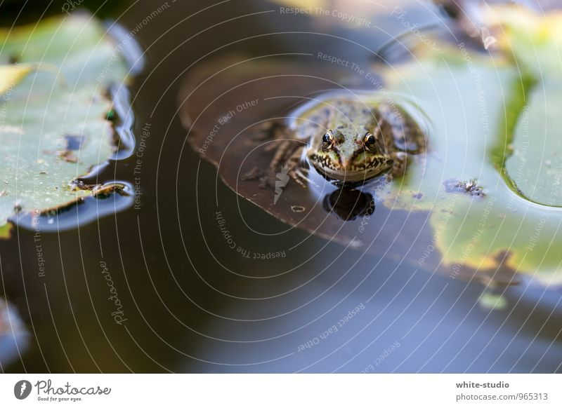 3, 2, 1, dive... Frog Animal Loneliness Reluctance Boredom Frog Prince Worm's-eye view Pond Lake Wait Idyll Ease Easy Relaxation Water lily leaf Diver