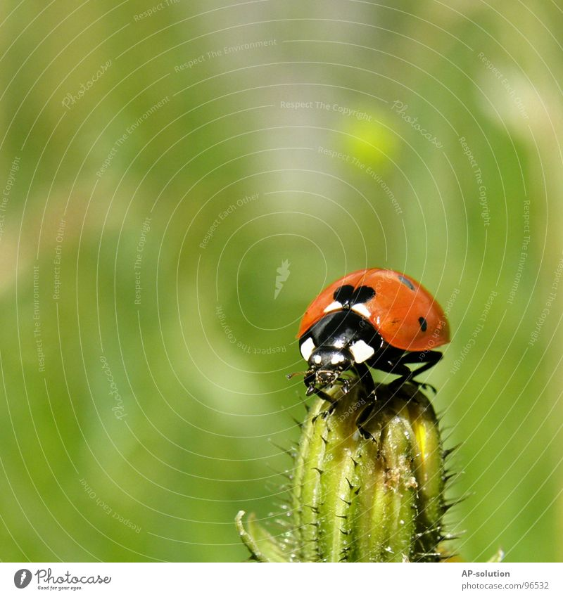 Ladybird *3 Happy Success Nature Animal Grass Beetle Crawl Walking Small Speed Green Red Black Insect Diminutive Feeler Blade of grass Grass green Pests Shorts