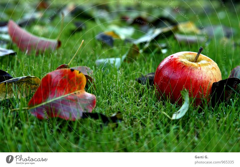 as fresh as a daisy Food Fruit Apple Nutrition Vegetarian diet Diet Nature Garden Fresh Healthy Glittering Wet Juicy Sweet Green Red Moody Autumn Colour Lawn