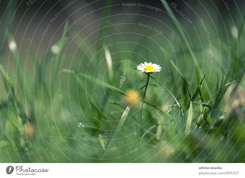 Nature Plant Beautiful Loneliness Flower Calm Environment Meadow Spring Growth Esthetic Blossoming Blade of grass Daisy Marguerite Spring fever