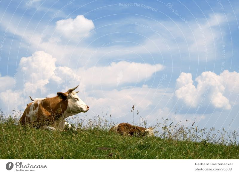 Sky Nature Summer Clouds Calm Meadow Grass Freedom Lie Nutrition Beautiful weather Break Peace Pasture Cow Antlers