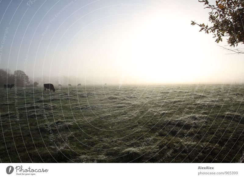 in the morning on the way to work Environment Nature Landscape Plant Animal Sunrise Sunset Autumn Beautiful weather Fog Tree Grass Field Farm animal Cow Cattle