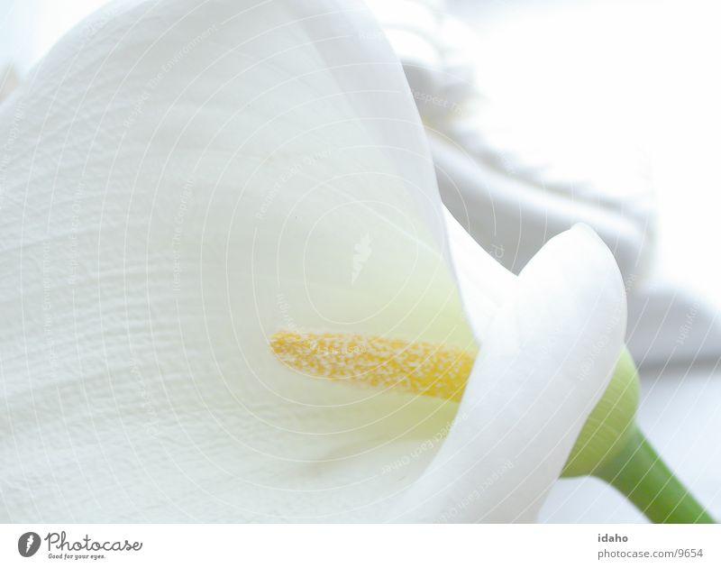 Calla Flower Calm Plant Blossom Innocent Style Neutral color Serene White Illuminating Pistil Detail Pure Wedding dress Bride groom Wedding Registry Loyalty