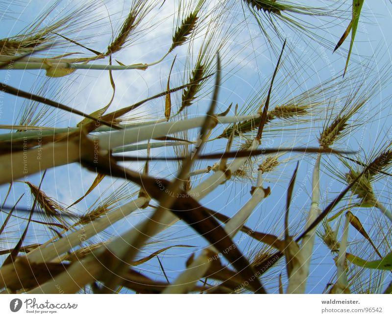 Sky Field Food Grain Agriculture Harvest Ear of corn Barley