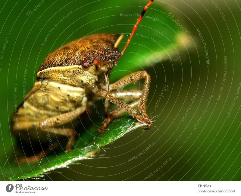 Green Red Eyes Animal Brown Fear Insect Panic Feeler Northern Forest Bug Shield bug Sloebug