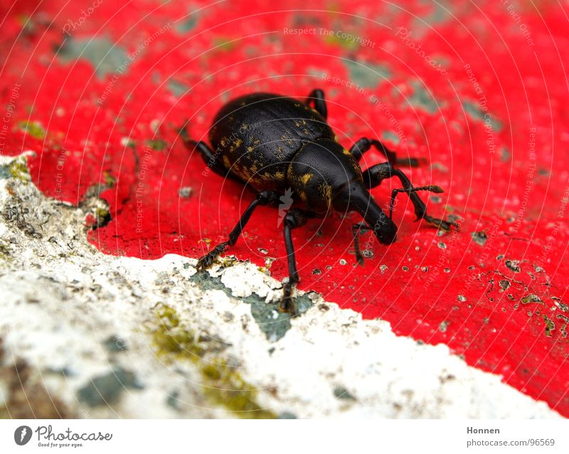 cross-border commuters Weevil Feeler Insect Black Red White Yellow Pelt Animal Plant Grass Crawl Life rostrum Stone Colour Legs