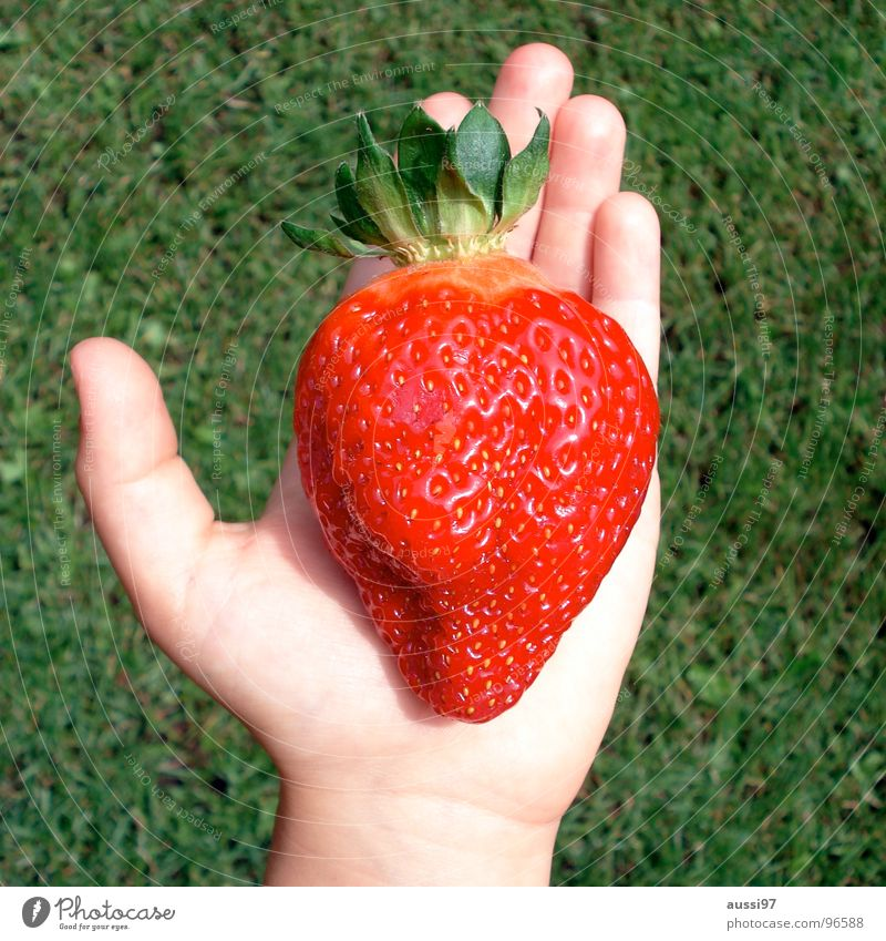 Monsters, mummies, mutations. Hand Grass Might Dimension Genetic engineering Large Colossus Red Gardening Children`s hand Value Fruit Summer Strawberry