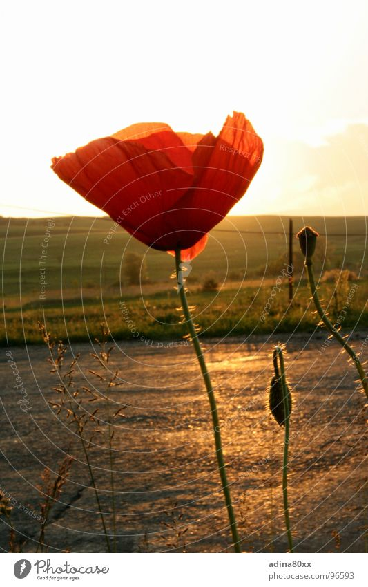 Beautiful Red Sun Summer Meadow Freedom Lanes & trails Moody Delicate Poppy Bud Evening sun Sunset