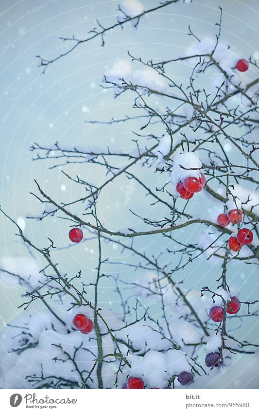 Apples in a dressing gown Feasts & Celebrations Christmas & Advent Nature Winter Ice Frost Snow Snowfall Blue Red Apple tree Colour photo