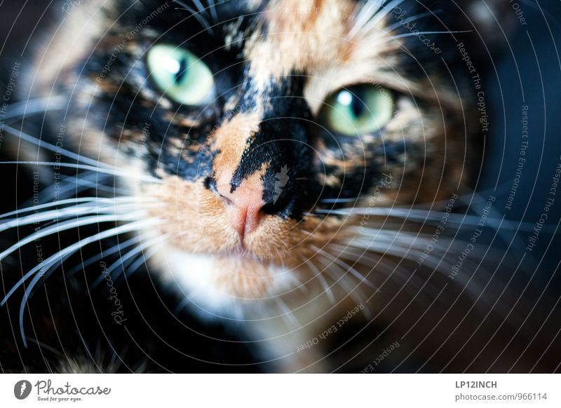 Feed me after midnight! Animal Pet Cat 1 Exotic Creepy Funny Cute Multicoloured Animal portrait Whisker Cat's head Looking Looking into the camera Cat eyes
