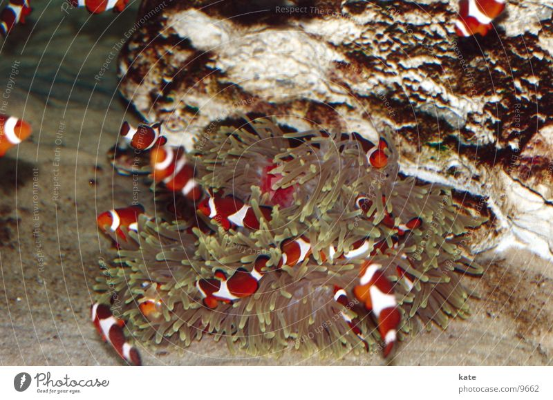 Finds Nemo? Clown fish Anemone Fishes Ocean Aquarium South Africa Cape Town Multicoloured Reef Two Oceans