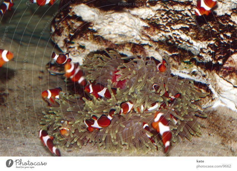 Ocean Aquarium Reef South Africa Anemone Cape Town Clown fish Anemone Fishes