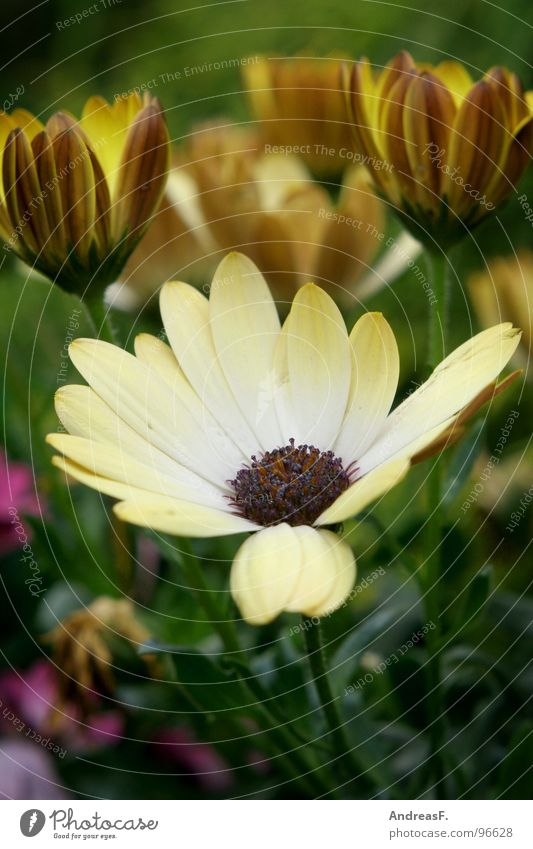 Nature Flower Green Summer Yellow Blossom Spring Garden Blossoming Marguerite Flowerpot Flower power