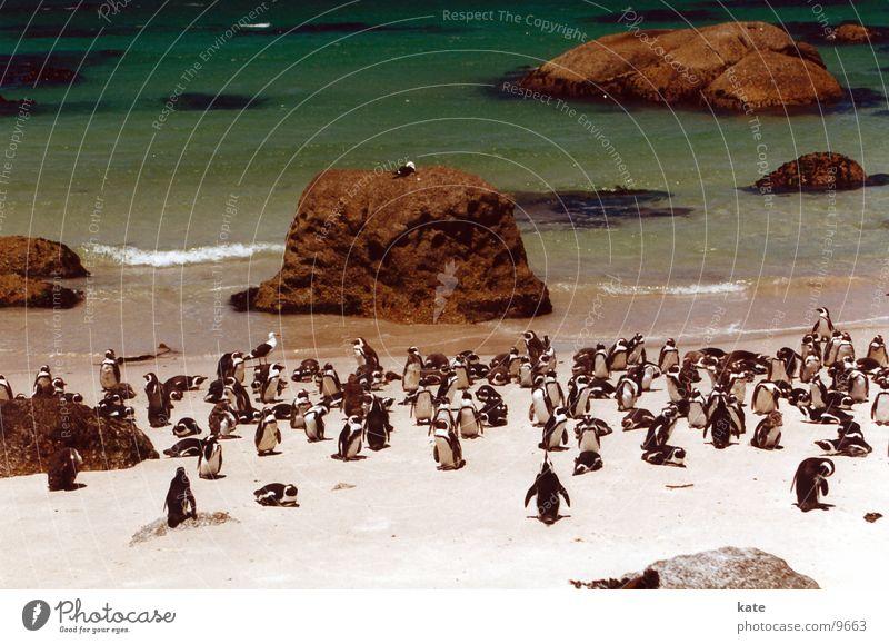 Jackass Penguins Animal Beach South Africa Ocean Boulders Beach Rock