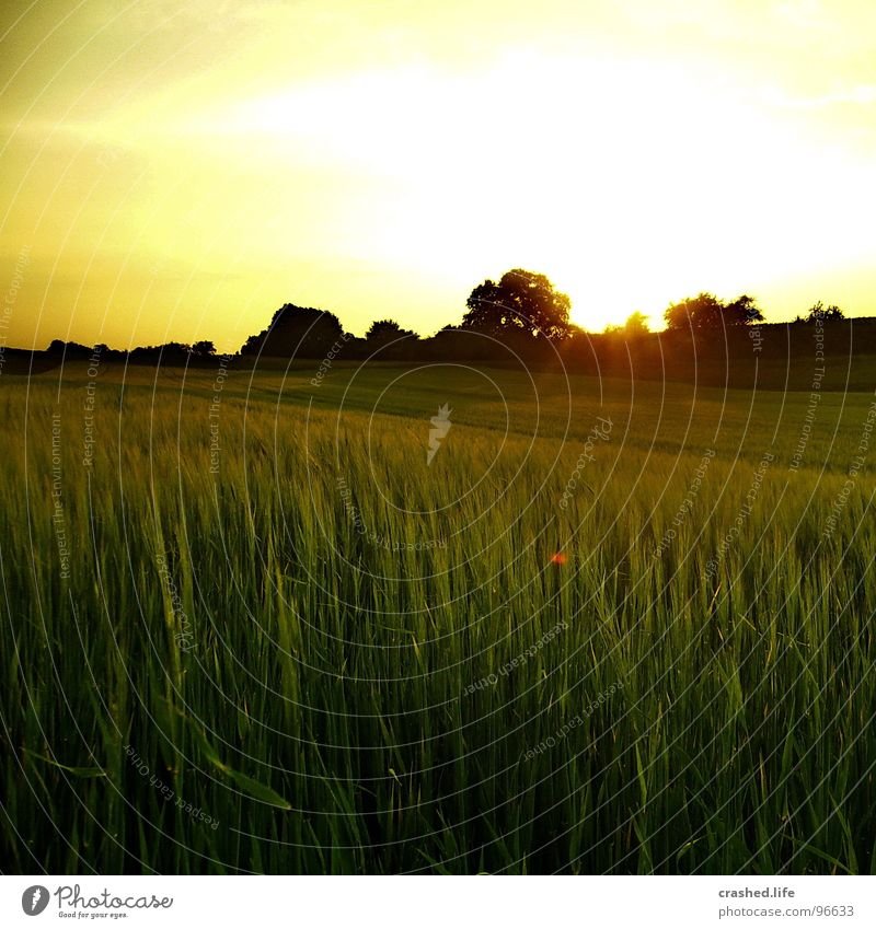 Sundown III Field Sunset Yellowness Green Grass Far-off places Wheat Infinity Light Sunrise Evening Morning Sunbeam Summer Physics Sky Street sundown Line lines