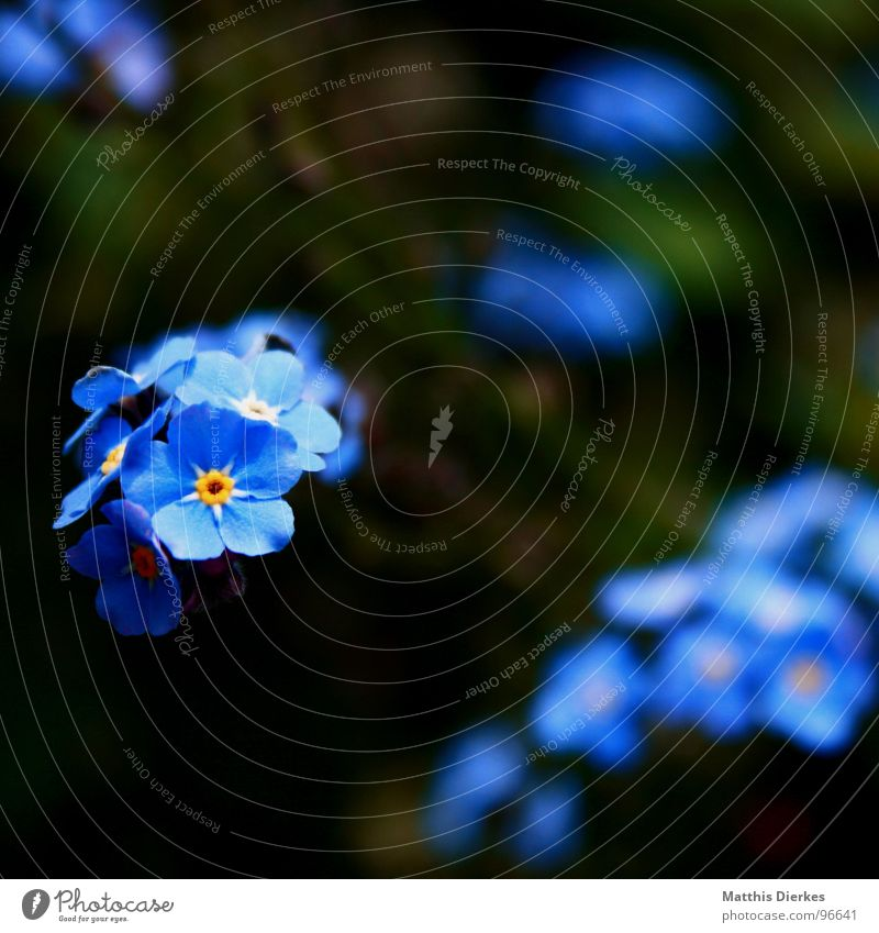 Blue Plant Summer Flower Black Yellow Blossom Garden Air Glittering Leisure and hobbies Balcony Breathe Hover Glimmer Forget-me-not
