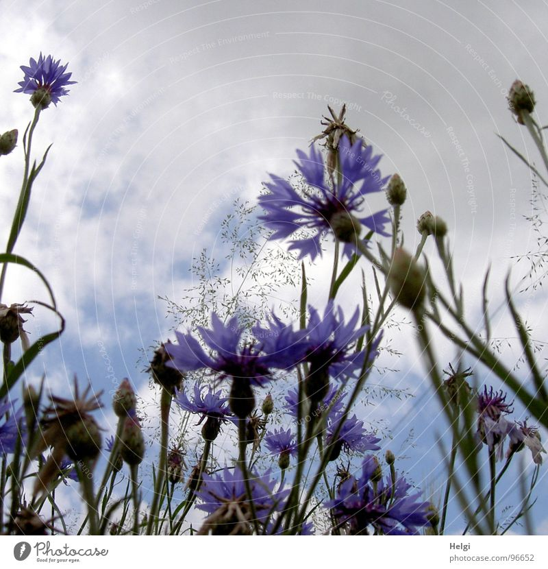 cornflowers Cornflower Flower Blossom Blossoming Grass Blade of grass Stalk Blossom leave Clouds White Gray Summer Roadside Field Green Light July September