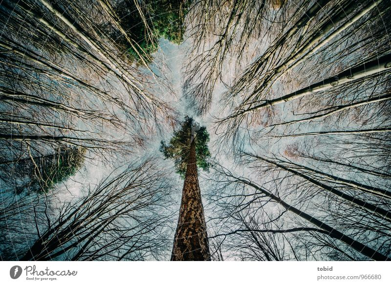 perpendicular Nature Plant Autumn Beautiful weather Tree Birch tree Pine Forest Esthetic Elegant Large Thin Symmetry Colour photo Deserted Day Contrast