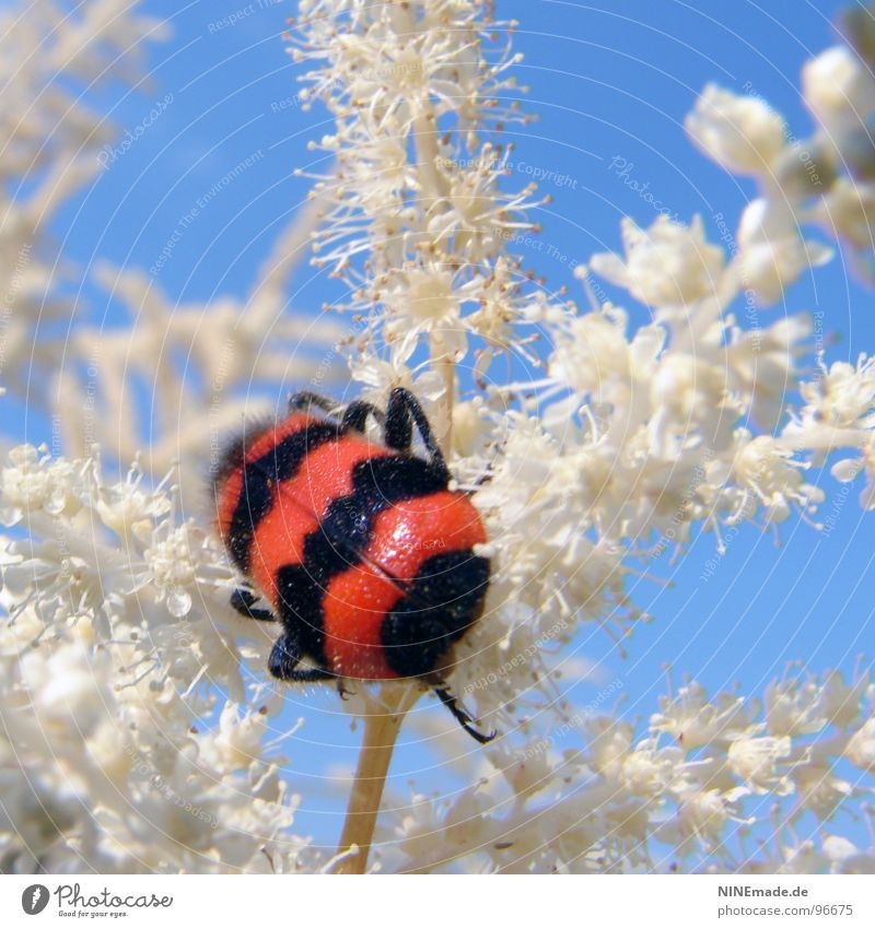 Cross-strips make you fat! Red Black White Sky blue Leg of a beetle Disheveled Blossom Plant Insect Crawl Summer Beautiful weather Bushes Striped Insulted Cute