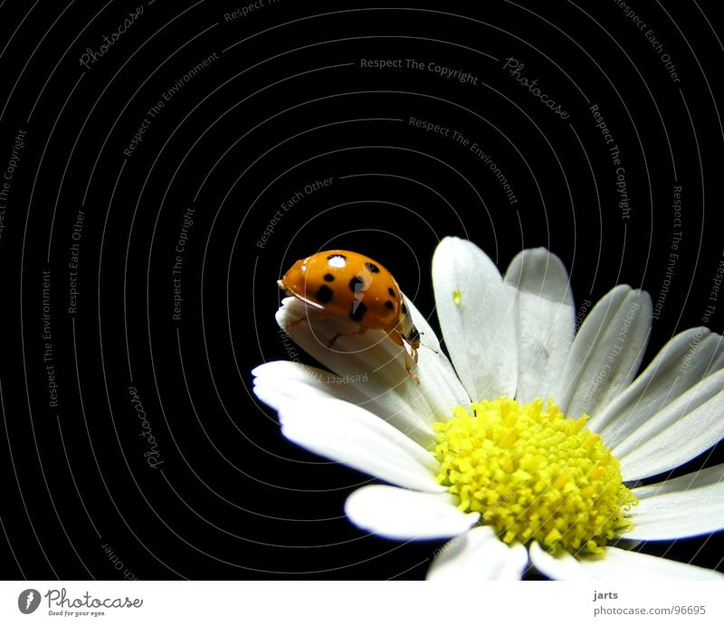 M+M Ladybird Flower Summer Blossom margarite Beetle Point jarts Marguerite