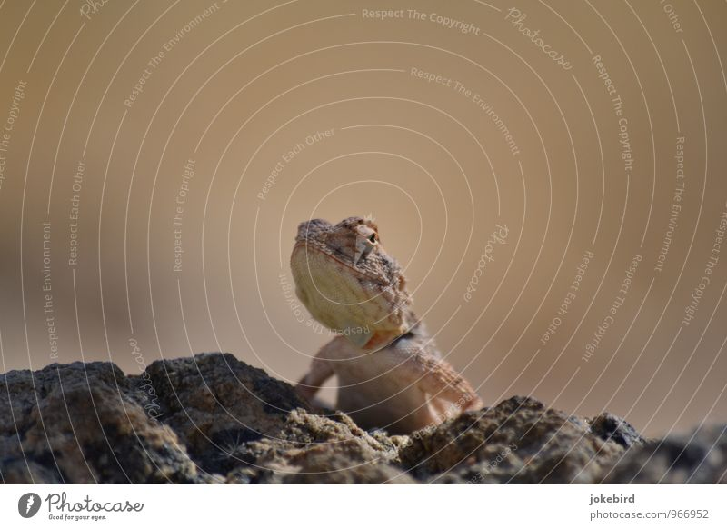 Yoo-hoo Rock Desert Wild animal Chameleon Reptiles Saurians Reptile eye Curiosity Vantage point Jaw Hide Scales Motionless Watchfulness Colour photo Deserted