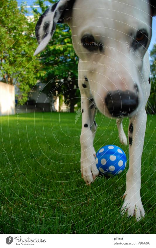 Points everywhere Dog Dalmatian Pet Animal Meadow Near Green Mammal chien Patch Ball Blue