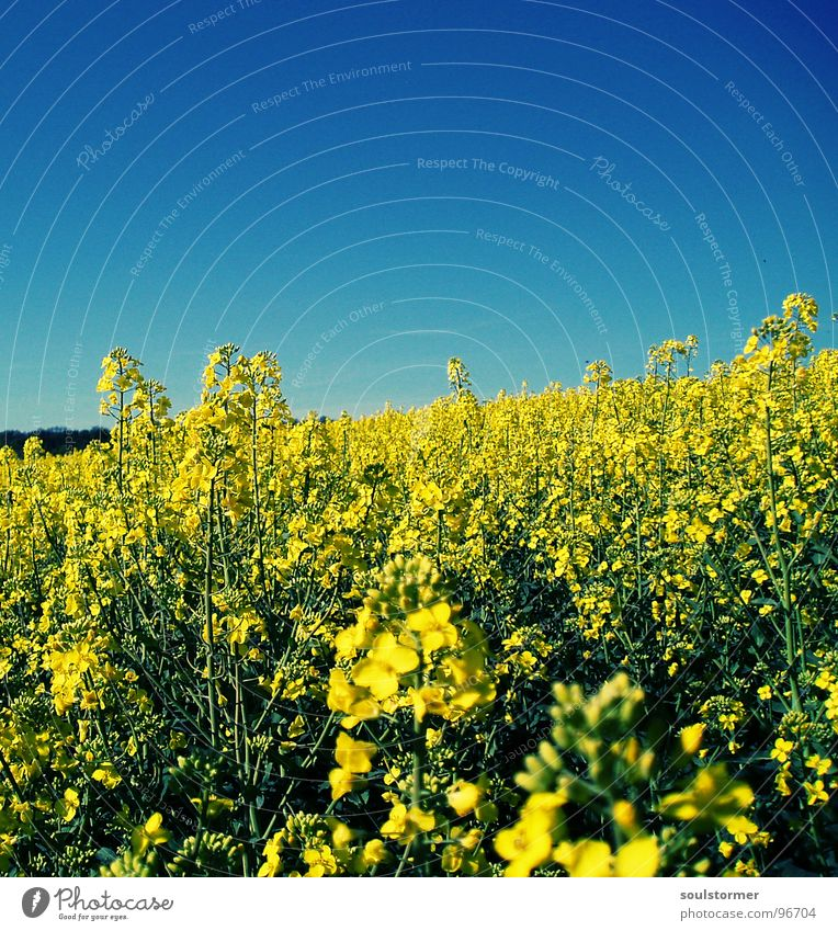 Sky Nature Blue Green Plant Flower Far-off places Yellow Spring Blossom Field Energy industry Beautiful weather Agriculture Blossoming Bee