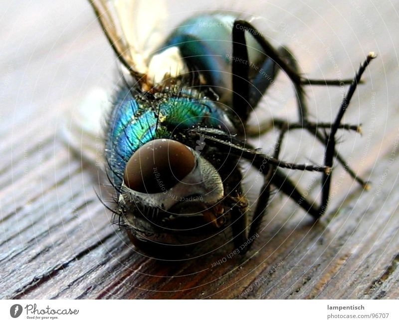 Green Blue Death Wood Fly Sleep Lie Wing Insect Fatigue Calculation