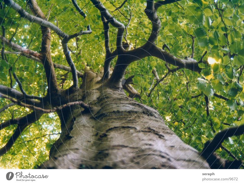 Ancient Beech Tree Plant Leaf Forest Spring Growth Branch Tree trunk Twig Treetop Tree bark Leaf bud Rachis Shoot Green Leaf green