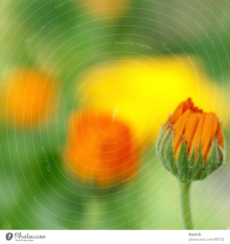 Green Plant Flower Yellow Blossom Orange Delicate Cosmetics Cream Daisy Family Medicinal plant Watercolors Marigold Marigold Defense against snails
