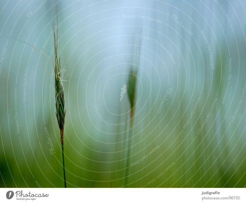 grass Grass Light Green Stalk Blade of grass Ear of corn Glittering Beautiful Soft Hissing Meadow Delicate Flexible Sensitive Pennate Summer Physics Blur Plant