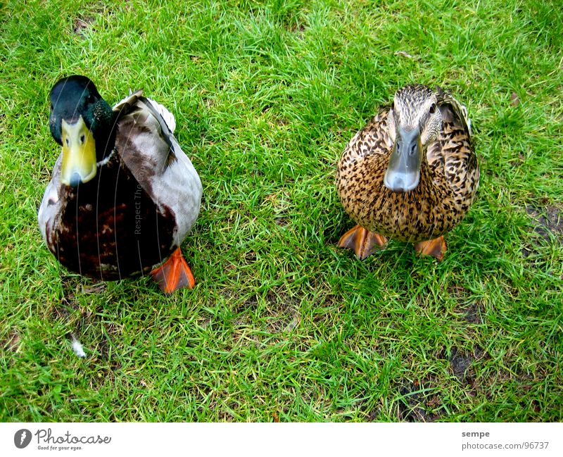 Nature Animal Bird Funny Sweet Duck