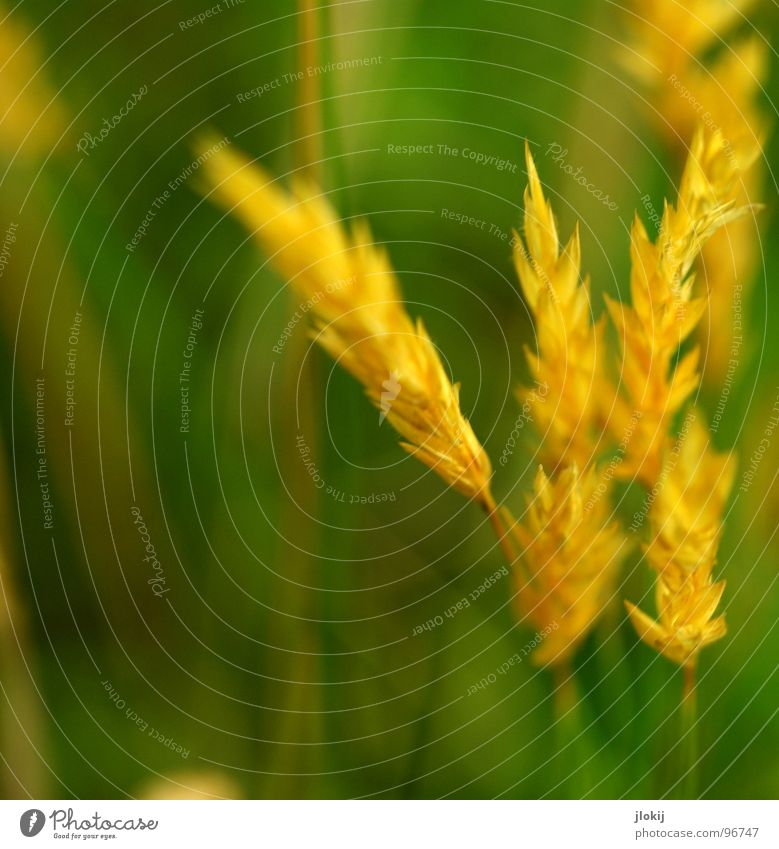 yellow gold Grass Green Stalk Ear of corn Yellow Growth Plant Spring Judder Glimmer Meadow Field Pollen panic Gold Lamp Nature Blossoming Fragrance wag Wind