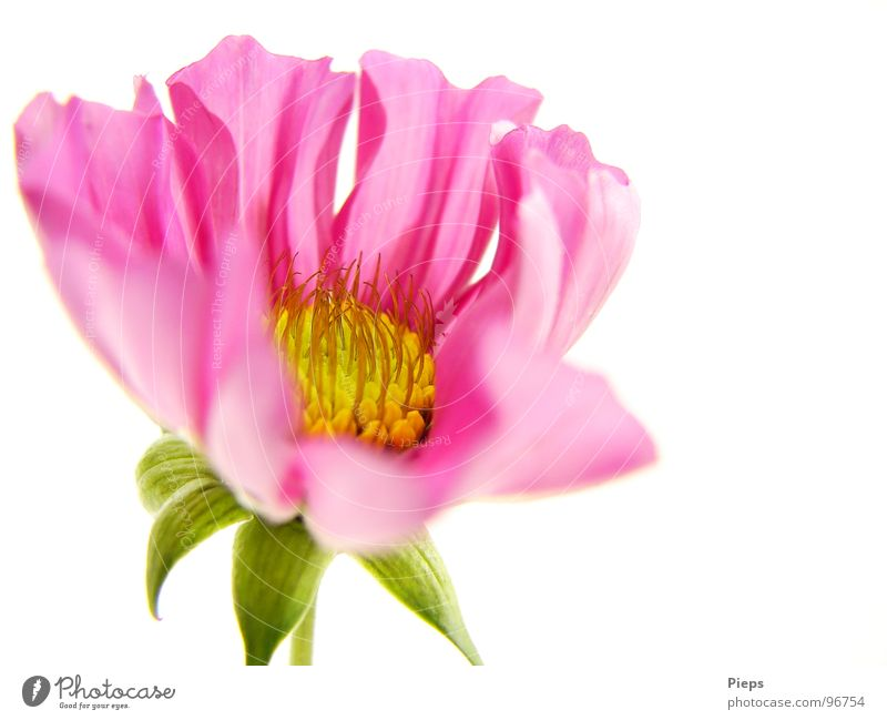 Little beauty awakes (2) Colour photo Interior shot Macro (Extreme close-up) Neutral Background Summer Nature Plant Flower Blossom Blossoming Growth Pink Cosmos
