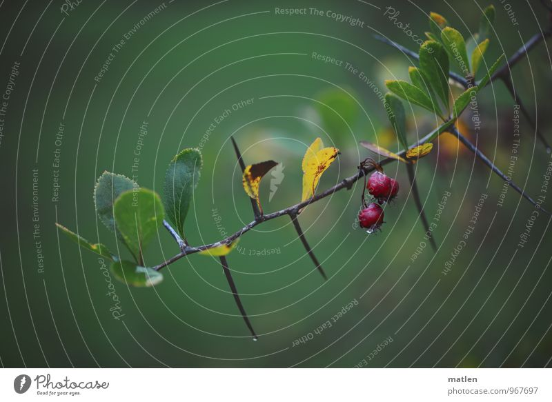 wet thorns Plant Water Drops of water Autumn Weather Bad weather Rain Bushes Wet Yellow Green Red Prickly bush Berries Barberry Colour photo Exterior shot