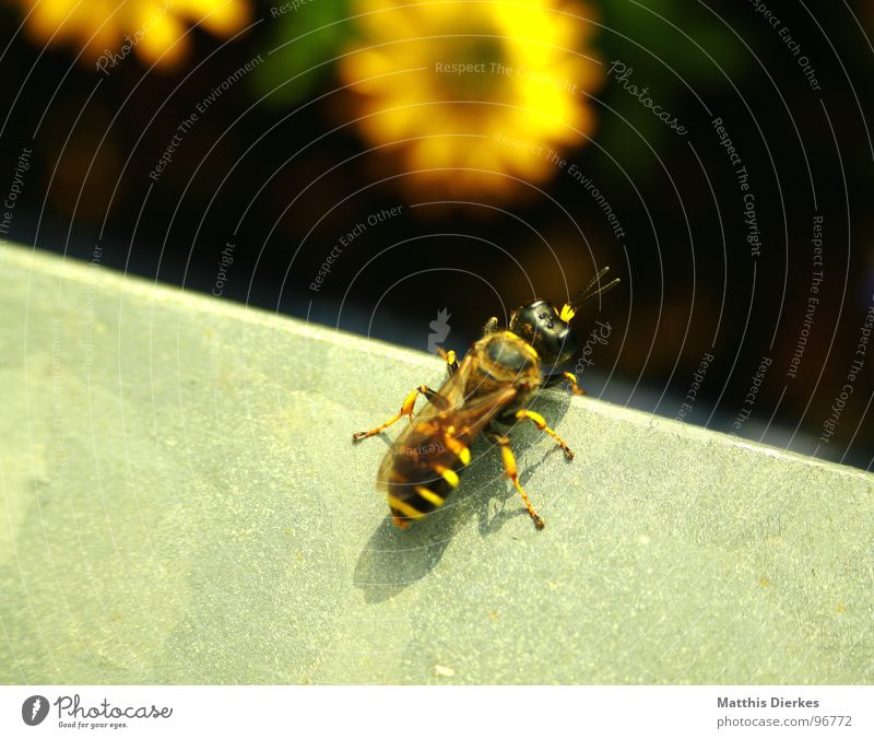 Plant Summer Blossom Flying Beginning Near Insect Bee Balcony Handrail Poison Spine Pierce Wasps Glimmer Propagation