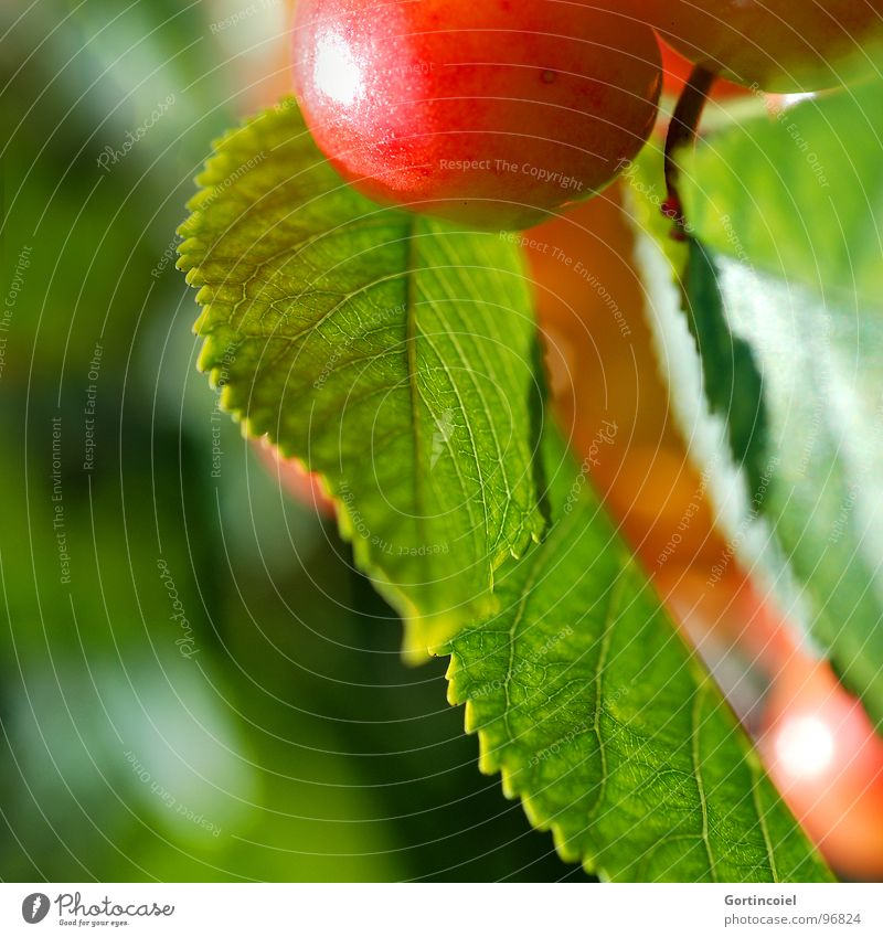 Cherry, cherry. Food Fruit Nutrition Summer Nature Tree Leaf Agricultural crop Sweet Mature Harvest Colour photo Exterior shot Copy Space left Reflection