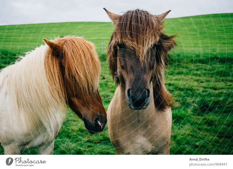 The Two Vacation & Travel Tourism Trip Far-off places Freedom Ride Nature Landscape Plant Animal Earth Sky Meadow Horse Iceland Pony 2 Pair of animals Looking