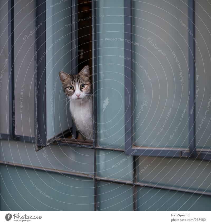 Cat Blue White Animal Window Gray Facade Fear Observe Curiosity Watchfulness Pet Column Skeptical Attentive Opening