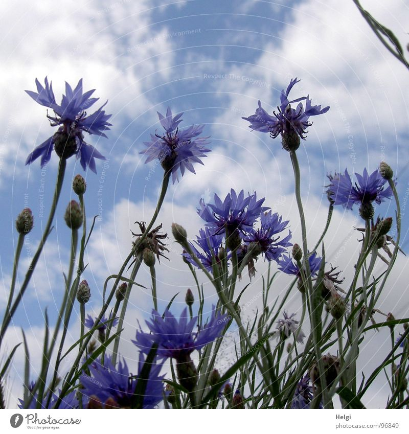 Blossoms and buds of cornflowers in front of blue sky with clouds Cornflower Flower Blossoming Stalk Green Blossom leave Clouds Roadside Field White Summer July