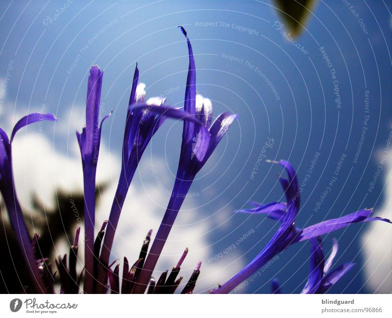 Violet Leafs Clouds Plant Blossom Summer Esthetic Knapweed Daisy Family Ornamental plant Spring Macro (Extreme close-up) Close-up Sky Shadow Graceful Beautiful