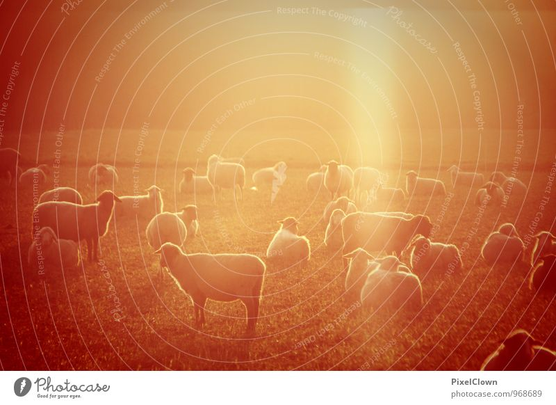 sheep Vacation & Travel Tourism Agriculture Forestry Nature Landscape Meadow Field Animal Farm animal Group of animals Herd Observe To feed Orange White