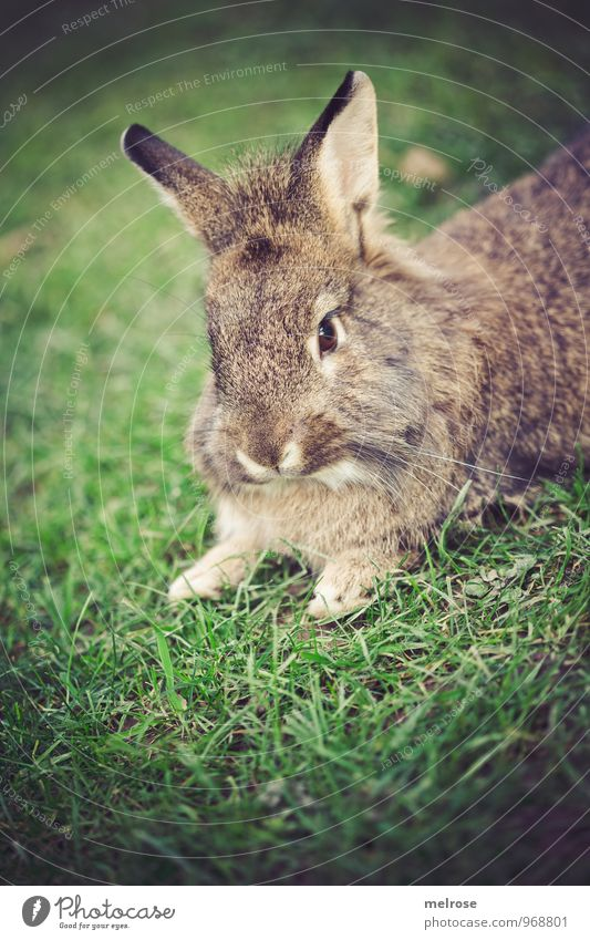siesta Nature Autumn Grass Meadow Animal Pet Animal face Pelt Paw hares Lion's head Pygmy rabbit Hare & Rabbit & Bunny Rodent Mammal 1 Hare ears Spoon Observe