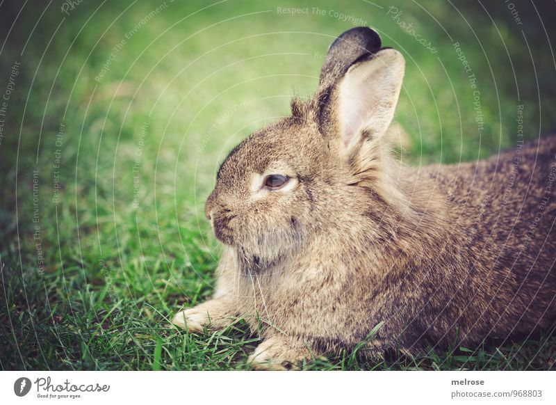 """gracious"" Nature Autumn Grass Meadow Animal Pet Pelt Paw Hare & Rabbit & Bunny Pygmy rabbit Lion's head Rodent Mammal Animal face 1 Hare ears Spoon Beard hair"